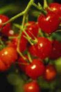 помидорная диета похудение